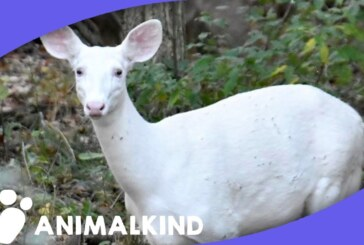 White deer intrigues nature lovers