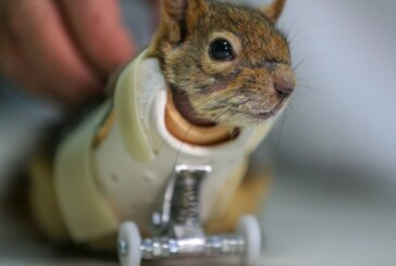 Squirrel Who Lost Paws In Trap Gets Prosthetic Wheels