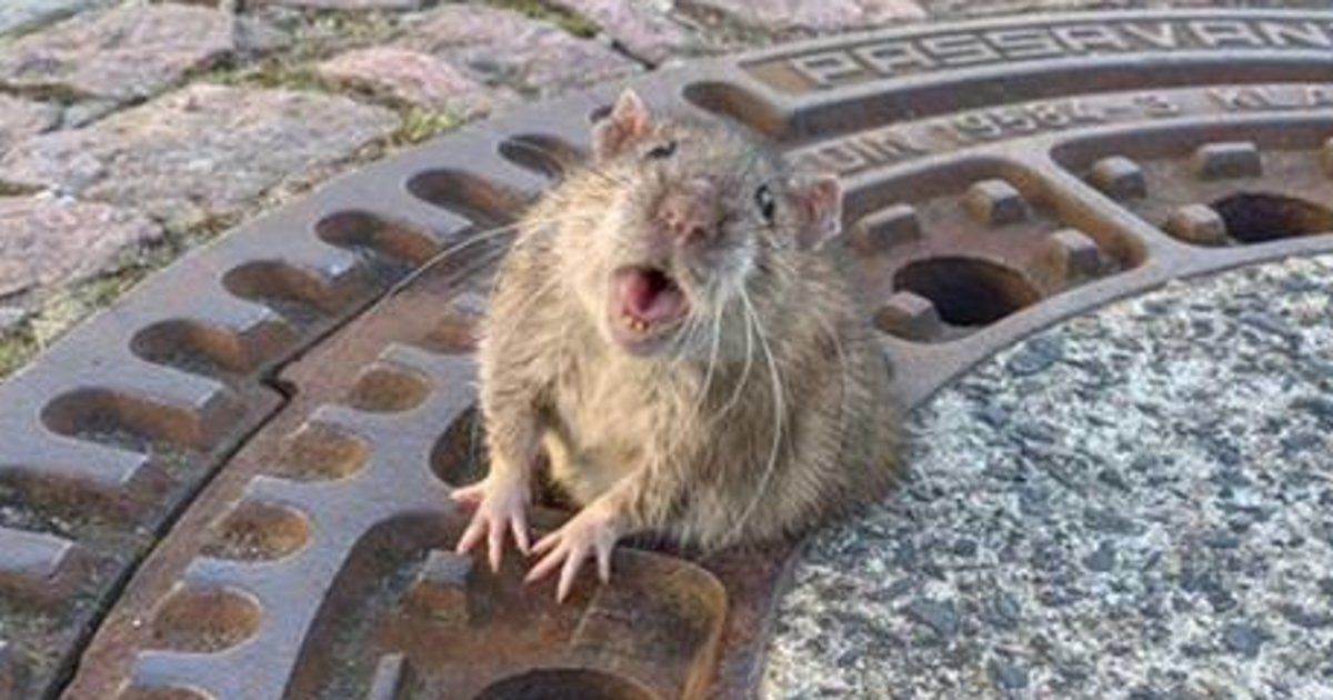 Fabulously Fat Rat Rescued After Getting Stuck In Manhole Cover