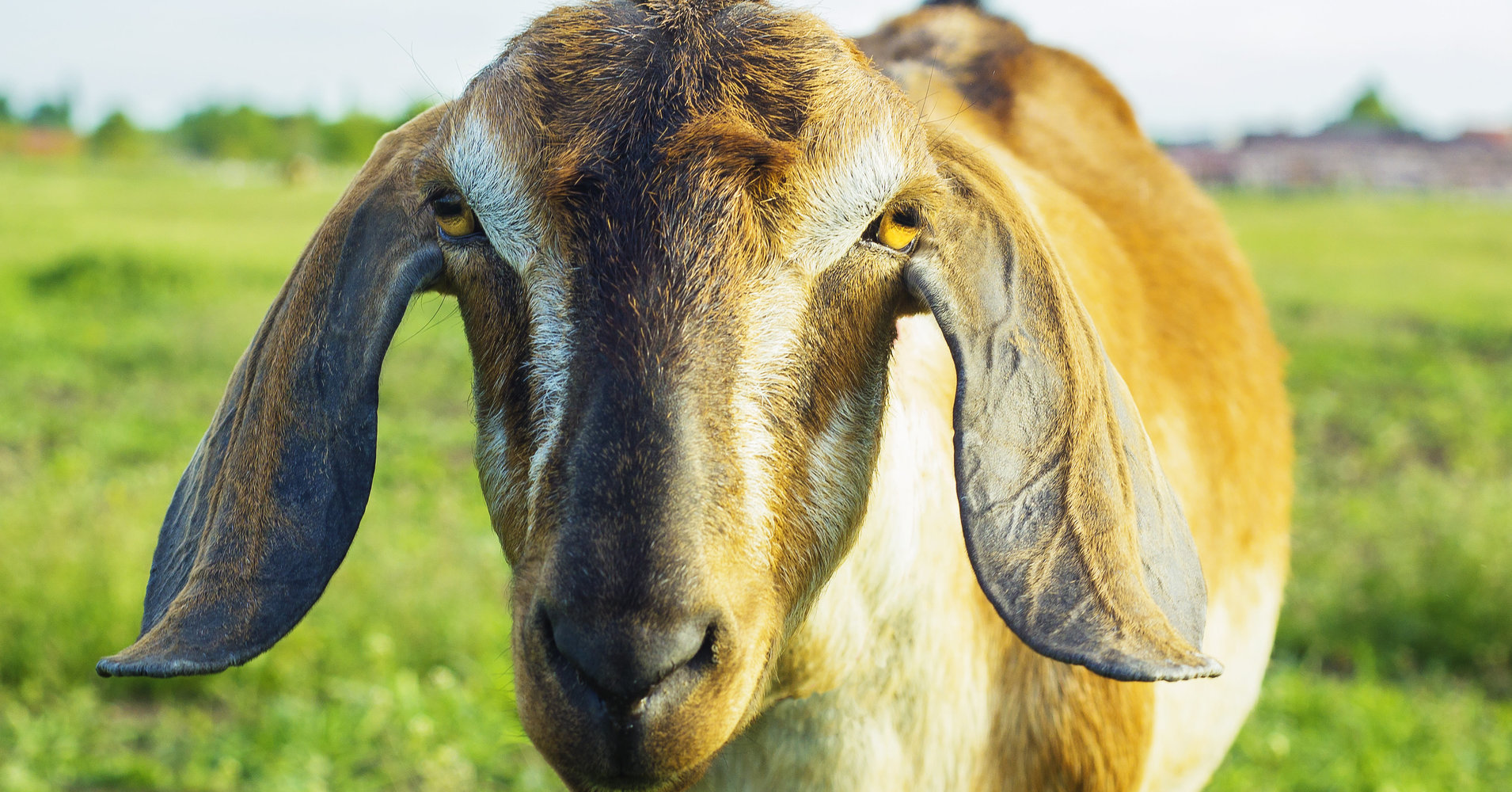 Lincoln The Goat Elected Mayor Of Small Vermont Town