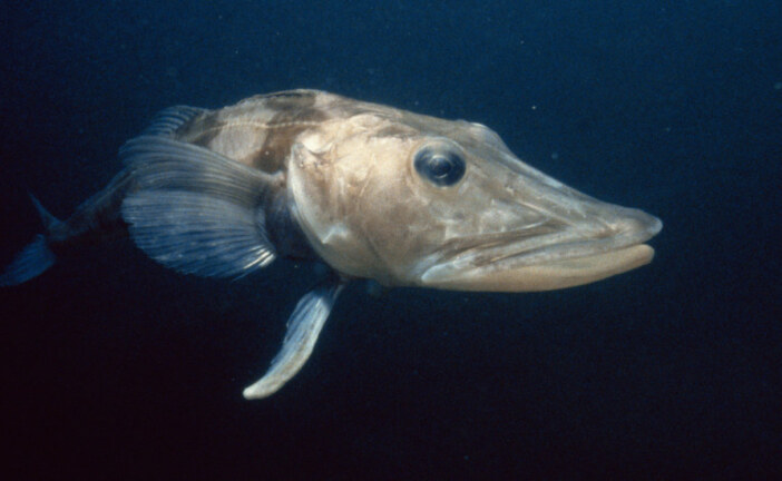 How the Icefish Got Its Transparent Blood and See-Through Skull